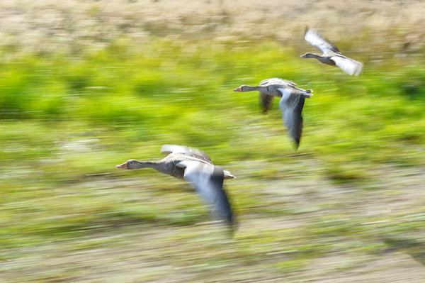 リーディング 鳥の群れ